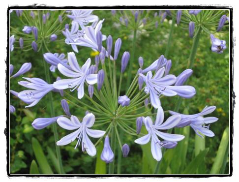flower lilac