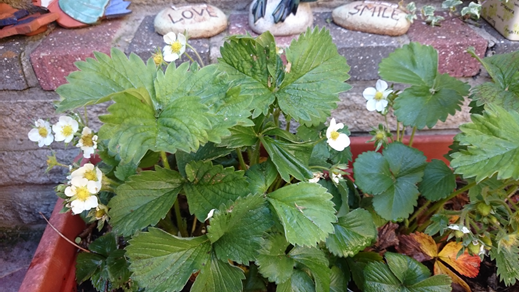 My soon to be strawberries! - just need to find a  cream tree! :-)