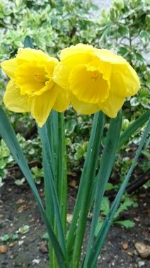 daffodils (11)