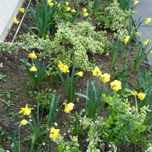 daffodils (12)