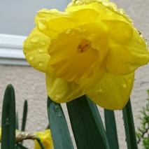daffodils (15)