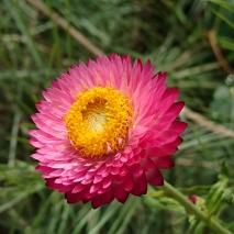 'Stroh Blume'