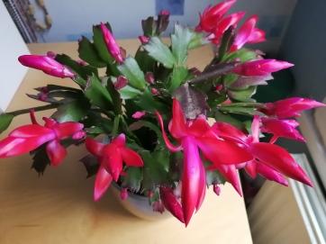 Christmas cactus (13)